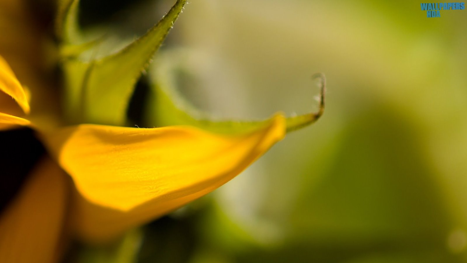 Yellow petal wallpaper 1600x900